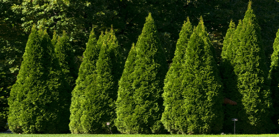 Tall Thuja Green Giants