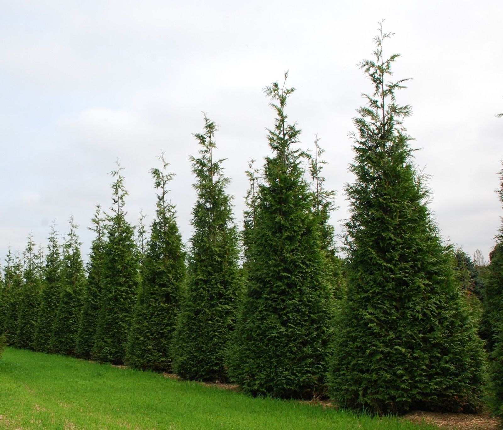 7 Answers About Thuja Green Giant
