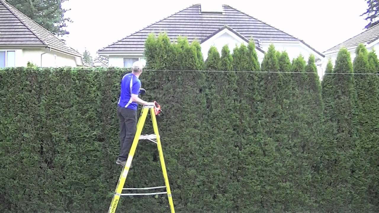 Trimming Your Thuja Green Giant Hedge