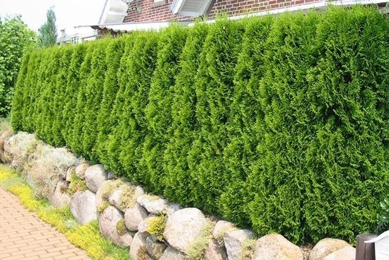 5 Steps to the Best Thuja Green Giant Hedge