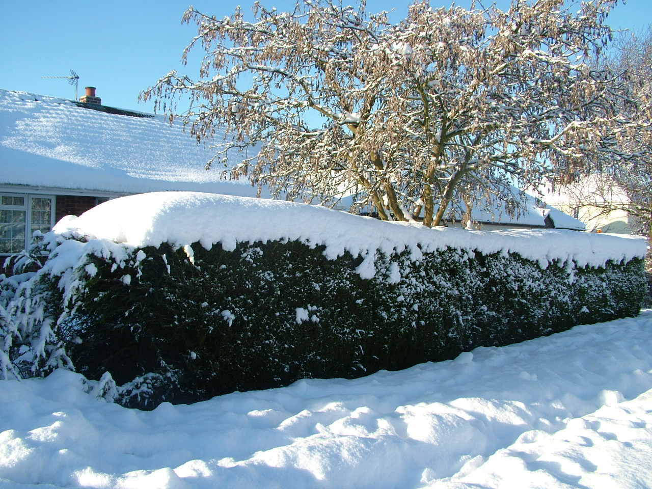 Winter Care of Thuja Green Giant