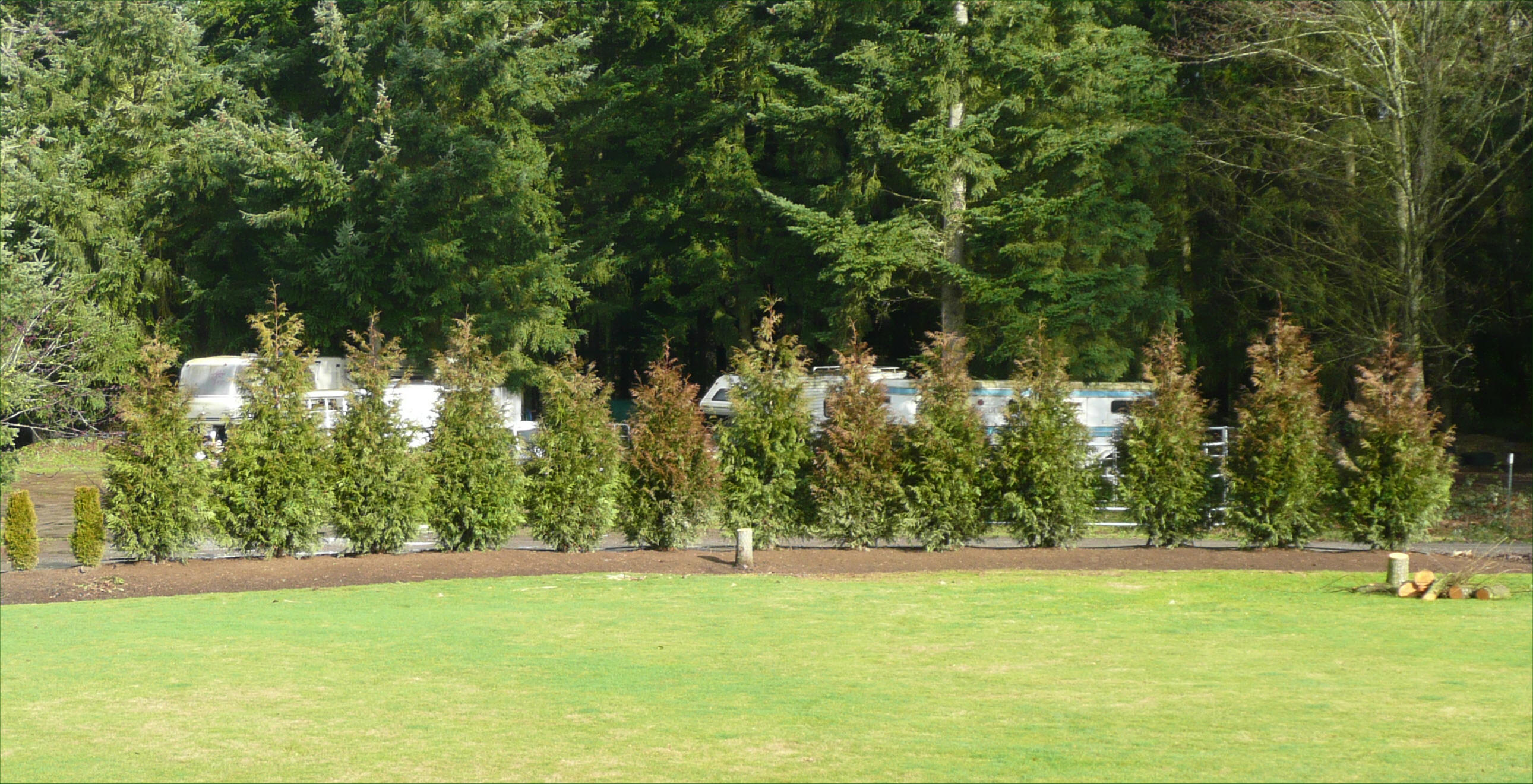 Correct Ing For Thuja Green Giant