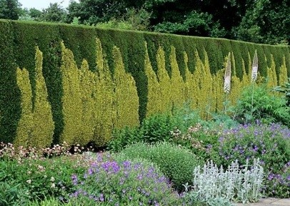 Put Color into Your Thuja Hedge