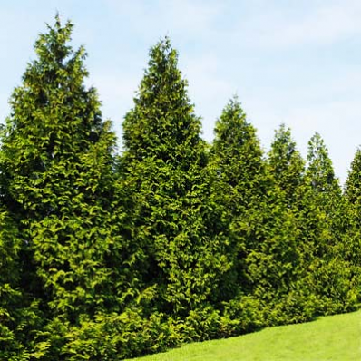 Thuja Green Giant in Windbreaks