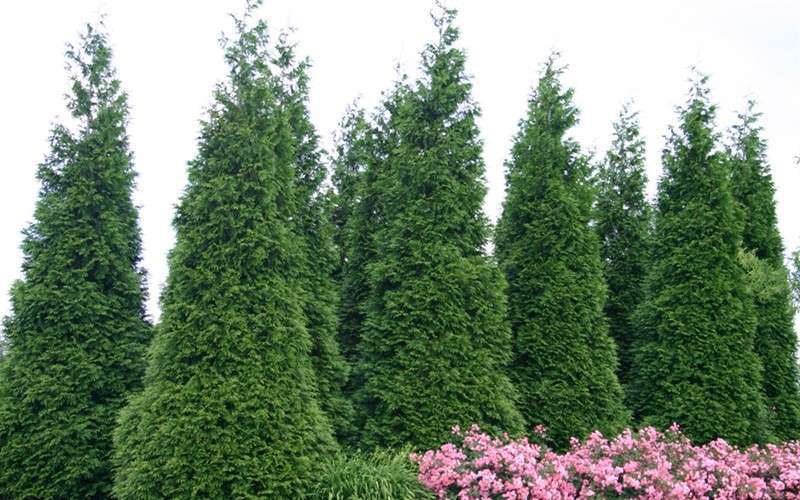 Thuja green giant thuja green giant for Green giant arborvitae