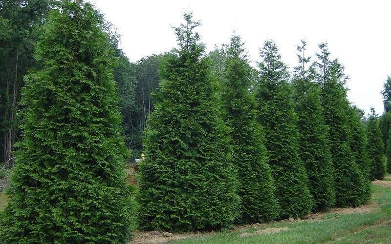 5 Reasons why Thuja Green Giant is the Right Choice