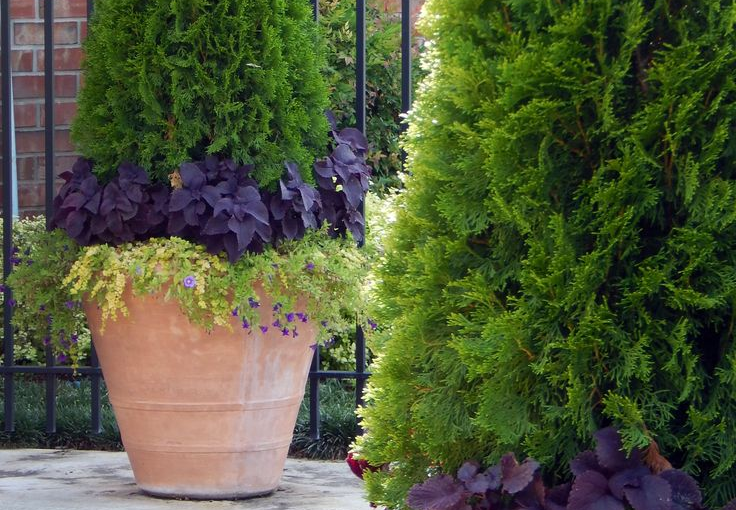 Perfect Potted Trees – Thuja Green Giant