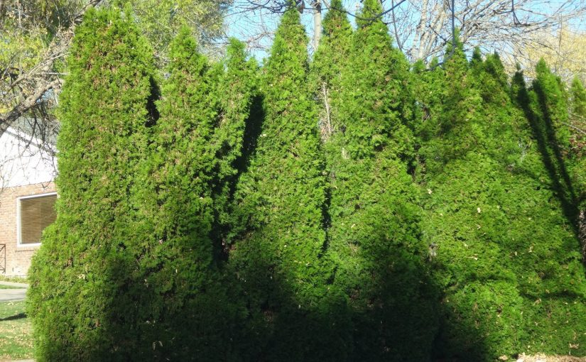 When Is the Best Time to Plant Thuja Green Giant?