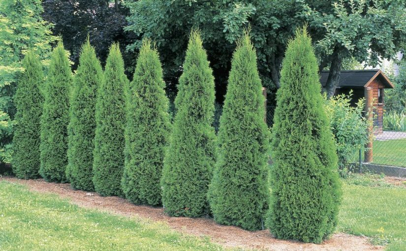 The Vital First Year – Get the Best from Your New Thuja Green Giant