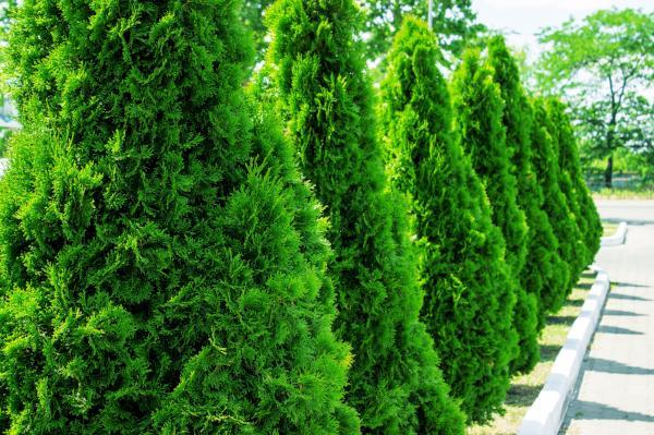 The Beginners Guide to Thuja Green Giant