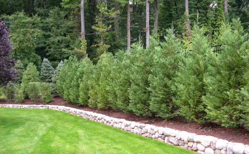 Get Maximum Growth from Thuja Green Giant