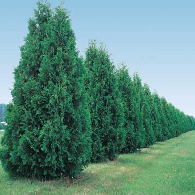 Thuja Green Giant for Screening