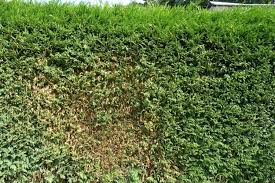 How to Fix Common Problems with Evergreen Hedges